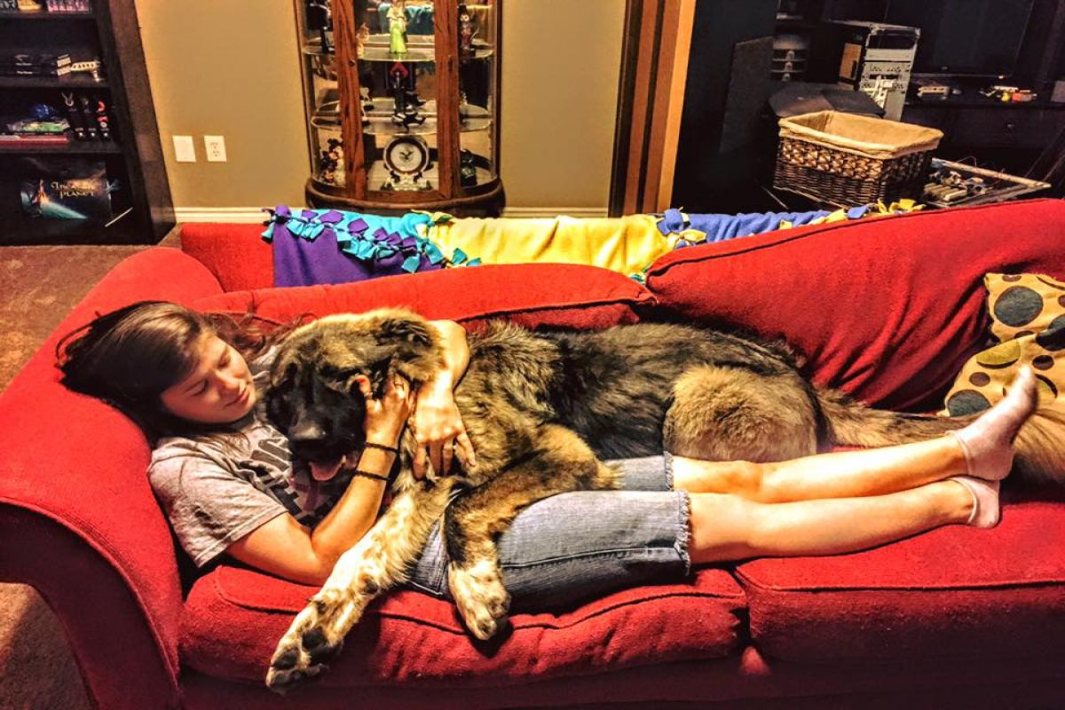 Simba the Caucasian Shepherd - lap dog